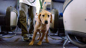 Dallas-based Southwest announced that starting Sept. 17 it will limit emotional support animals to one dog or cat per customer.