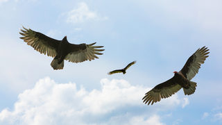 Vultures a swooping menace at university in Virginia