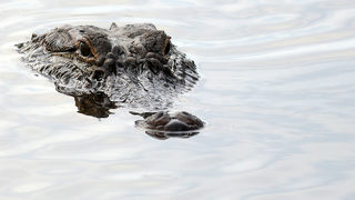 Alligator attacks, kills woman walking her dog on South Carolina