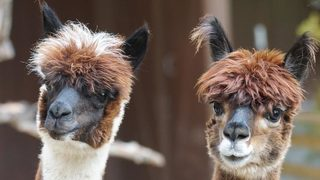Florida alpaca dies after motorist feeds it Doritos, Cheese Nips, peanuts