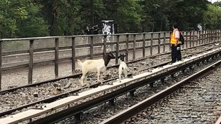 Two baaaaad goats delay New York City train service