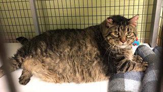 30-lb shelter cat 'Meatloaf