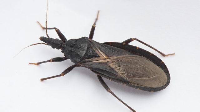 dangerous kissing bug illness spreading across southern u s wftv
