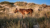 Wild Spanish mustang grazing among the dunes. Experts say the wild horses that live on the Carolina coast should survive Hurricane Florence.