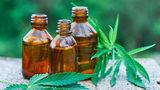 Harvesting hemp for CBD oil grows in popularity