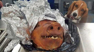 Customs beagle named Hardy detects roasted pig