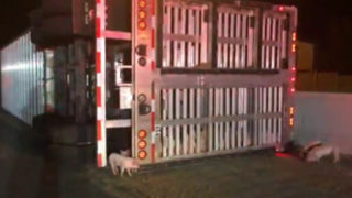 Piglets run loose when tractor-trailer hauling 2,500 overturns on freeway