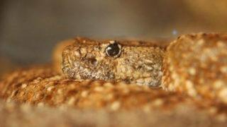 Giant rattlesnake slithers across Florida golf course