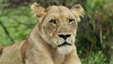 Getty file photo of a lioness in the grass (Photo by Warren Little/Getty Images)