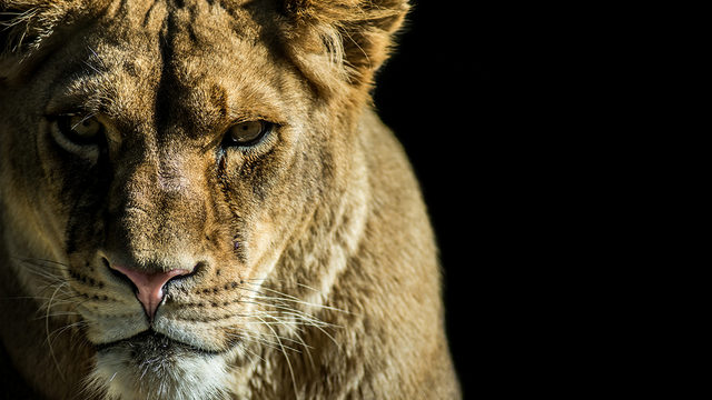 indianapolis zoo lioness kills lion mate kiro tv