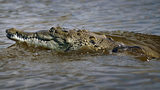 A crocodile is seen in a canal near the Florida Power & Light's Turkey Point Nuclear Power Plant on June 28, 2012 near Florida City, Florida.
