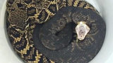 Florida snake wrangler Bob Cross caught a eastern diamondback rattler and a cotton mouth just hours apart and is warning people in Central Florida to be on the lookout for venomous snakes.