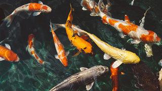Cops: $8,000 in koi, goldfish stolen from nursery