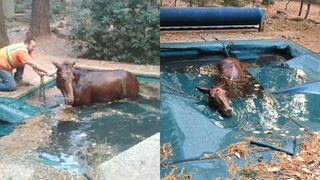 Men rescue shivering horse in backyard pool hiding from Camp Fire