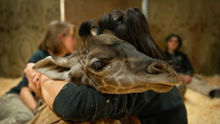 18-day-old giraffe suddenly dies at Ohio zoo