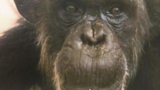Oldest chimp at Kansas City Zoo dies at 55