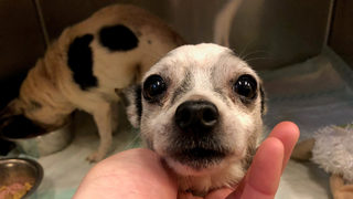 2 senior Chihuahuas found in box on side of the road inPennsylvania