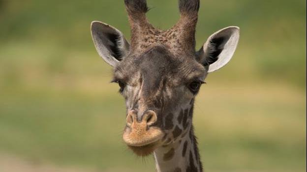 be2b8d699cfd5 Mother giraffe dies 4 days after her calf | Boston 25 News