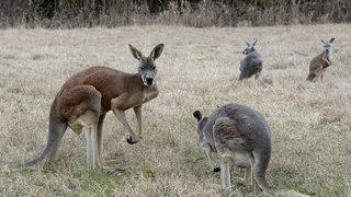 Roger the ripped kangaroo dies at 12