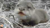 Scotter, an Asian small-clawed otter, was born Nov. 14 at the Jacksonville Zoo and Garden.