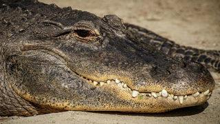 Free drop: Alligator