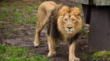 According to officials at a North Carolina conservation center, a lion (not pictured) somehow got out of an enclosure and killed an animal keeper.