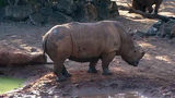 A child was injured after falling into the rhinoceros exhibit at the Brevard Zoo in Florida. Photo: WFTV.com