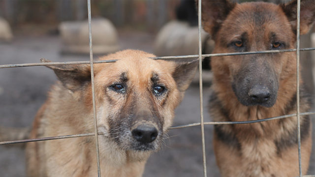 165 neglected German shepherds rescued from Georgia property ... c2e19e03d