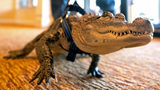 In this Jan. 14, 2019, photo Wally, an emotional support alligator, walks into the SpiriTrust Lutheran Village at Sprenkle Drive in York, Pa. Photo: Ty Lohr/AP