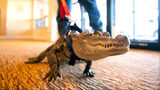 In this Jan. 14, 2019, photo Wally, an emotional support alligator, walks into the SpiriTrust Lutheran Village assisted-living facility in York, Pa. Photo Credit: Ty Lohr/AP