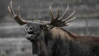 International battle over moose statues: 'Don