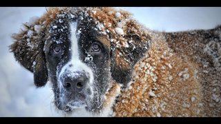 St. Bernard survives 17 days outside in frigid Minnesota cold