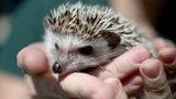 Hedgehog. File photo.