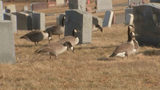 Geese have overrun a veterans' cemetery, leaving a mess. (Photo: Boston25News.com)