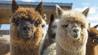 Ohio officials tell family to send pet alpacas packing