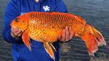 SEE: Huge Goldfish Stuns Fisherman