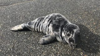 Police officer helps protect seal pup found in middle of road