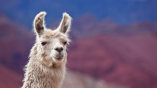Woman arrested after shooting pet llama she said attacked her