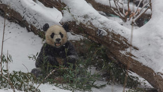 Pandas snowy playtime shows animals can have fun in snow too