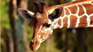 Giraffe dies in freak accident at Kansas City Zoo, officials say