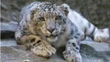 Louisville Zoo adds snow leopard