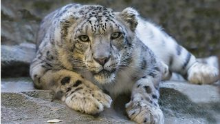 Zoo adds snow leopard