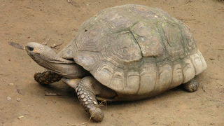 100-pound tortoise missing in New Mexico