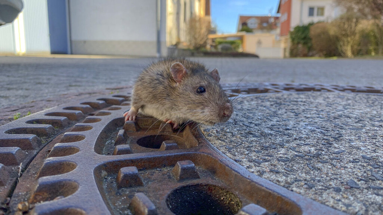 Image result for rat stuck in manhole cover