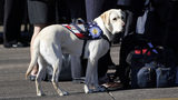 Sully, the yellow Labrador retriever and former service dog of former President George H.W. Bush, started his new assignment at Walter Reed National Medical Center in Bethesda, Maryland, Feb. 27. Photo: Pool/Getty Images