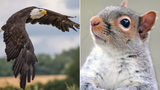 A bald eagle and a squirrel, similar to these images, squared off in a tree in Lincoln, Maine, Monday and a photographer just happened to be at the ready with his camera.