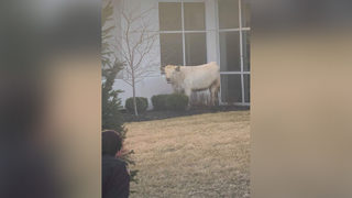 Moo-ve along: Cow holds up traffic in Indiana city, runs toward Chick-fil-A