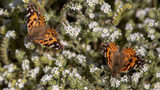 SEE: Painted Lady Butterflies Number in Millions in Massive Migration Spectacle