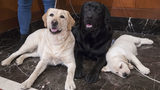 Labrador retrievers Soave, 2, left, and Hola, 10-months, pose for photographs as Harbor, 8-weeks, takes a nap during a news conference at the American Kennel Club headquarters in New York. Photo: Mary Altaffer/AP
