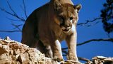 A mountain lion surveying its prey. Officials in New Mexico are warning about sightings of the big cat near a trail in the Sandria Mountains east of Albuquerque. Photo: PIxabay